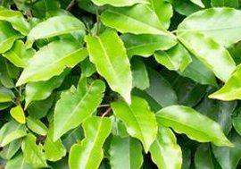 Portuguese-laurel-hedge-plants