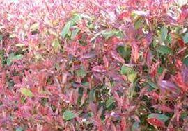 photinia-red-robin-hedge-plants