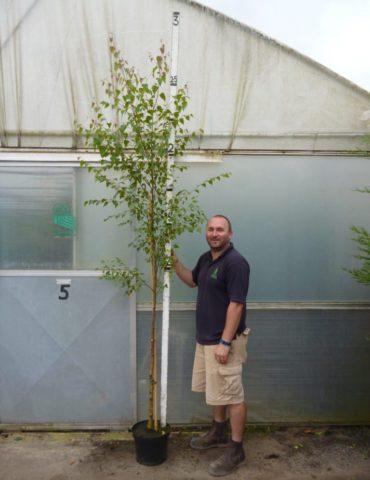 Silver Birch (Betula Utilis) 8ft+ high in a 10lt pot