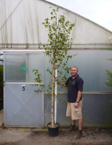 Silver Birch 8ft plants for sale online, HedgesOnline