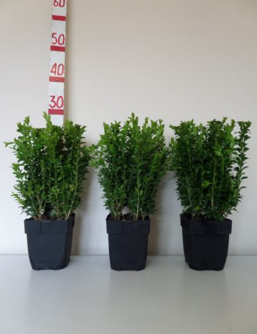 30cm box hedge