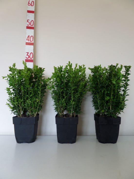 30cm box hedge