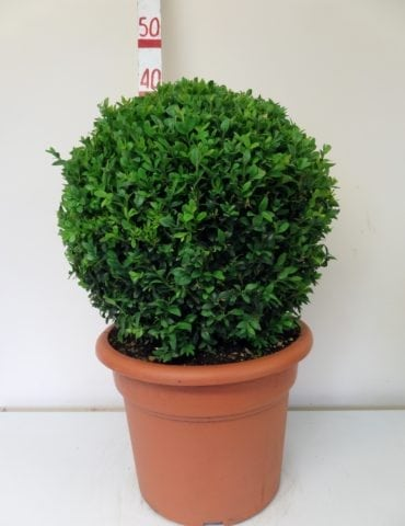 topiary box ball