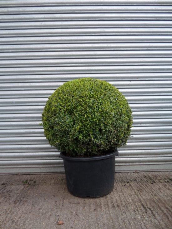 Topiary Box Ball 60cm
