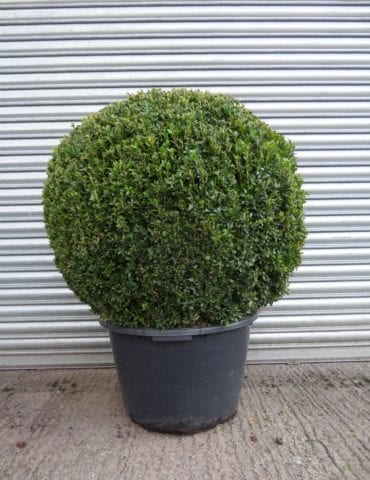 large Topiary Box Ball