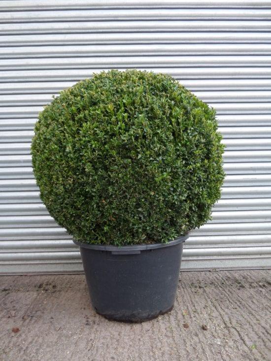 large Topiary Box Ball