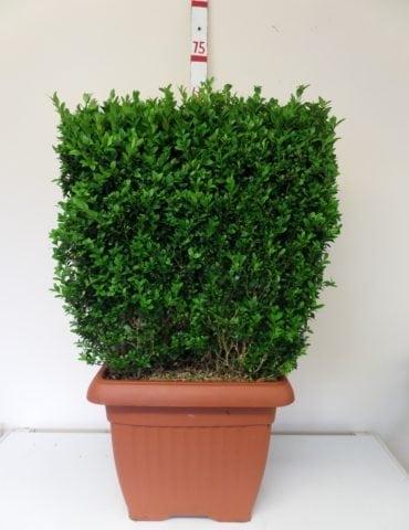 topiary box cube