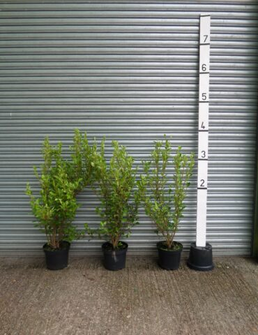 Griselinia hedging plants