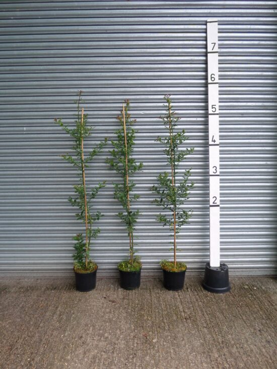 6ft holly hedge
