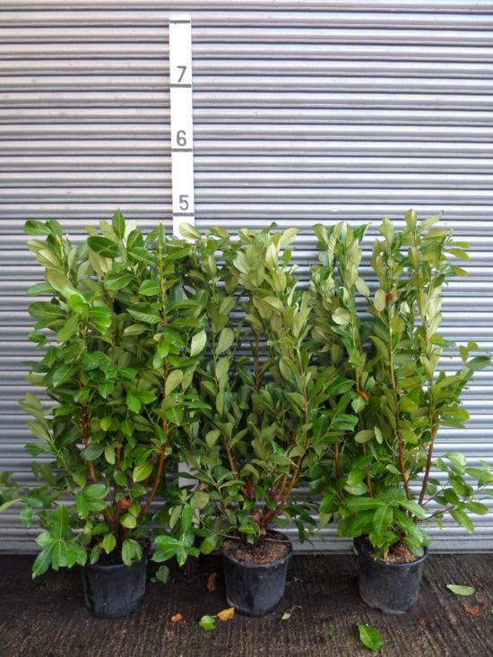 5ft laurel hedge
