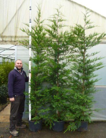 9ft Leylandii in 25lt pots, Cupressus × leylandii