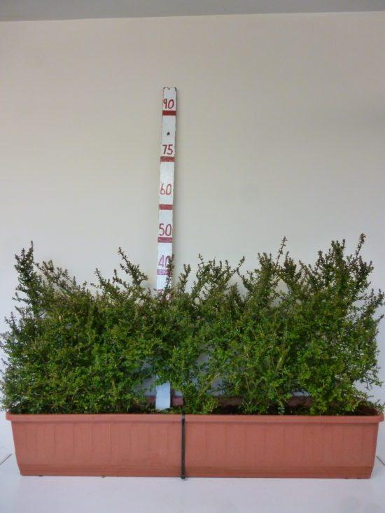 Lonicera hedging