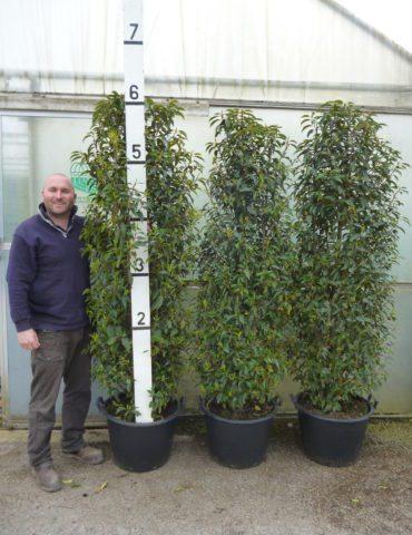 6-6.5ft Portuguese laurel hedge