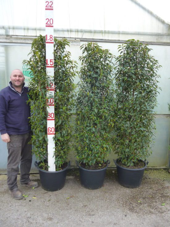 6-6.5ft Portuguese laurel hedge