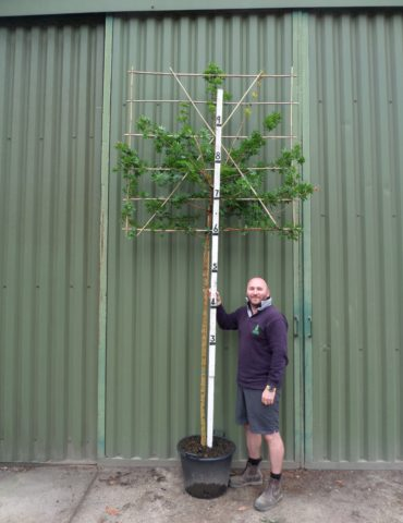 pleached field maple