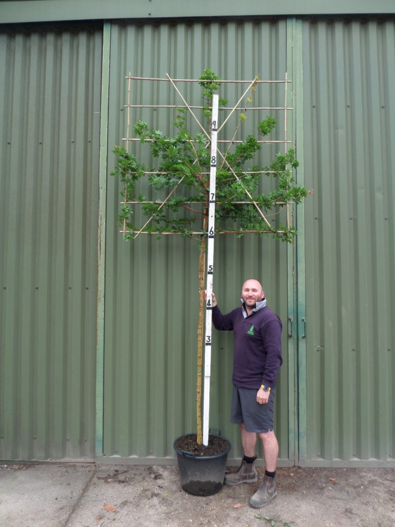 Pleached Field Maple Acer Campestre Trees For Sale Pleached Hedging
