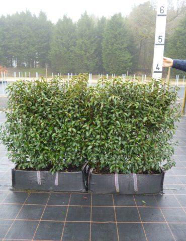 instant portuguese laurel hedge