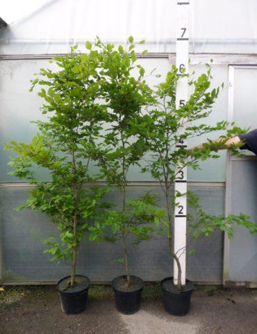 beech hedge plants