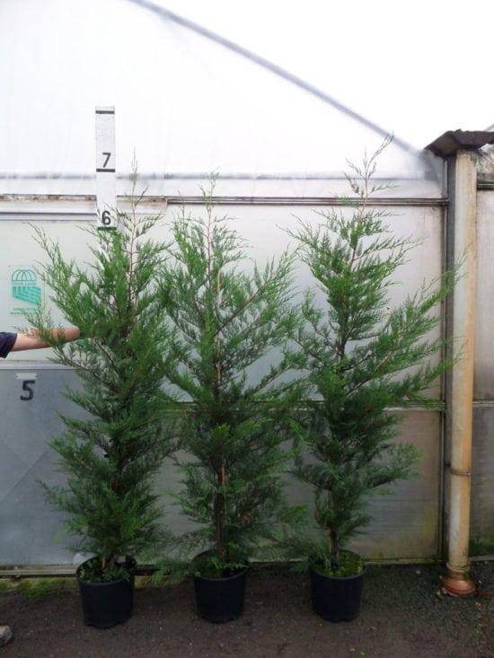 7ft Leylandii Hedge