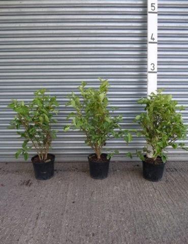 Griselinia hedge plants