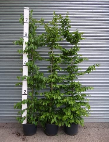 8ft Hornbeam