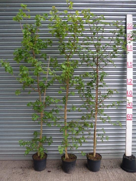 Field Maple hedging