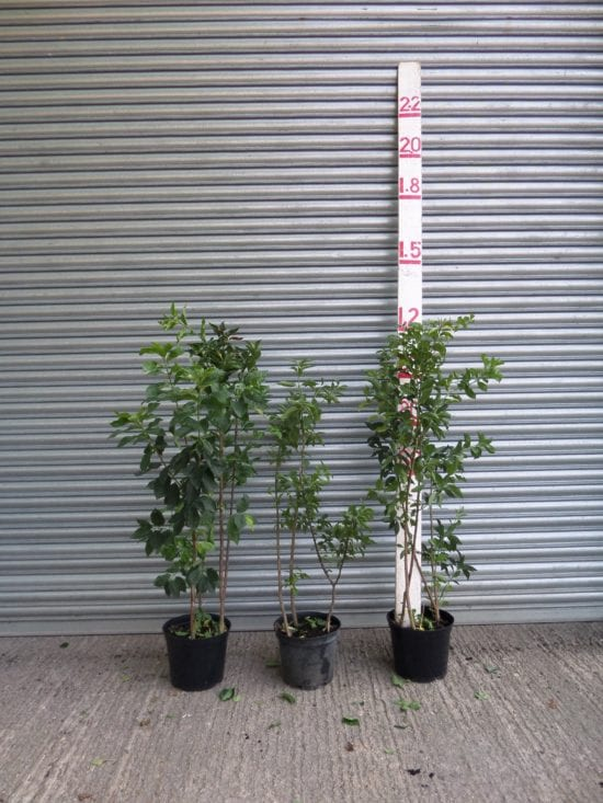 Spindle plants