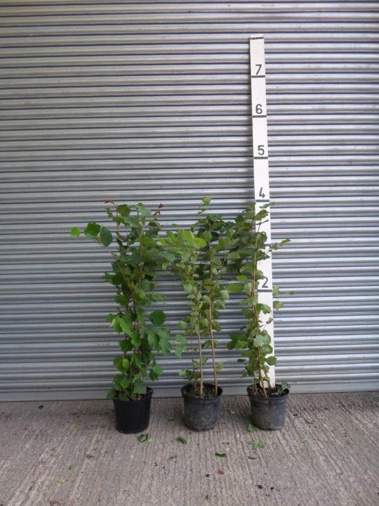 Hazel Hedge Plants