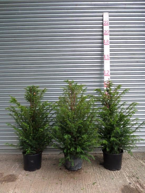 4ft yew hedge