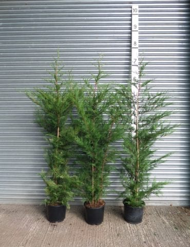 7ft Leylandii Hedge