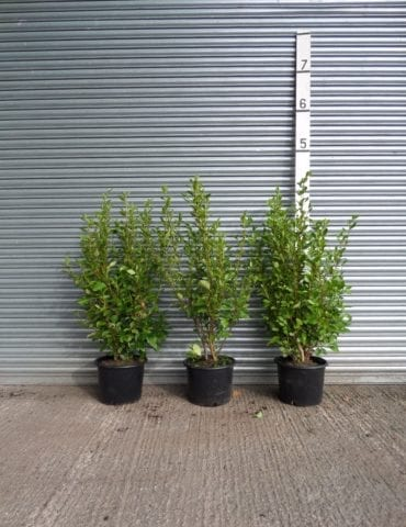 Griselinia hedge plants