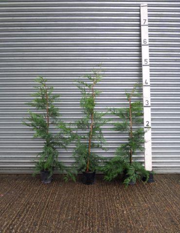 Small leylandii hedging