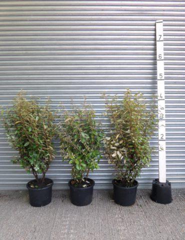 Elaeagnus hedge plants