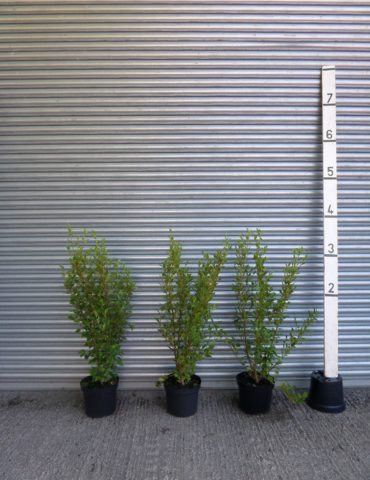 4ft Griselinia Hedgs Plants