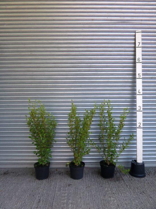 4ft Griselinia Hedgs Plants