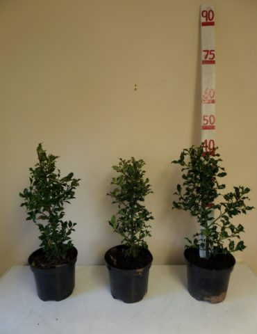 holly hedge plants