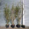 7ft Privet Hedge