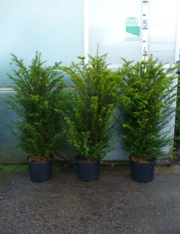Pot grown yew hedging