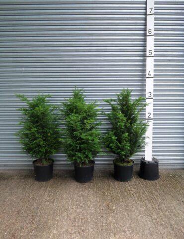 3ft yew hedge