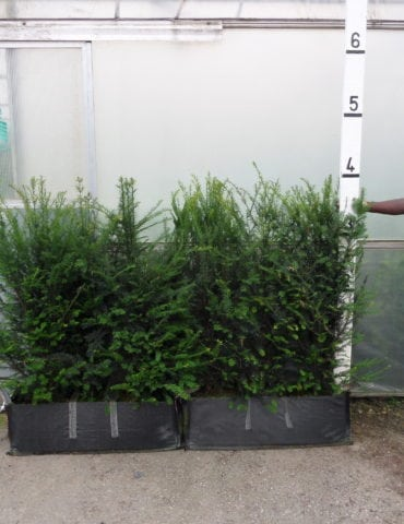 instant yew hedge