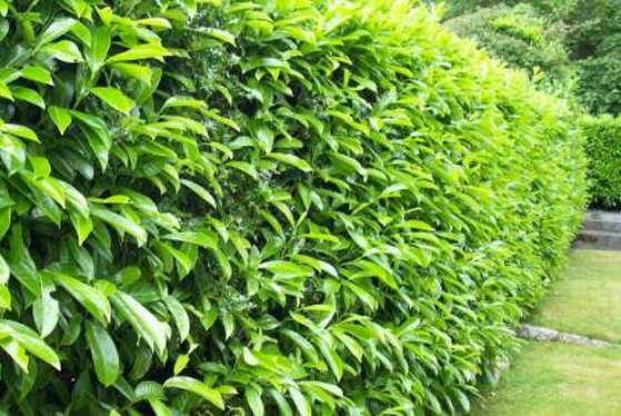 Healthy-hedge-plants