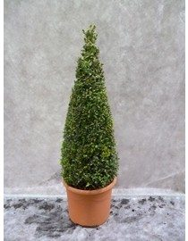 Box Pyramid 60-70cm, Buxus Sempervirens Pyramid Box Hedge