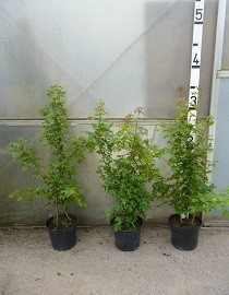 Field Maple (Acer campestre) plants, 2.5-3ft high in a 10lt pot