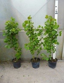 Hazel Hedge Plants, 2.5-3ft high, in 10lt pots