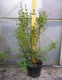 Osmanthus burkwoodii for sale online, direct from HedgesOnline