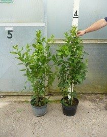 Spindle Tree Plants, 2.5-3ft high in 10lt pots