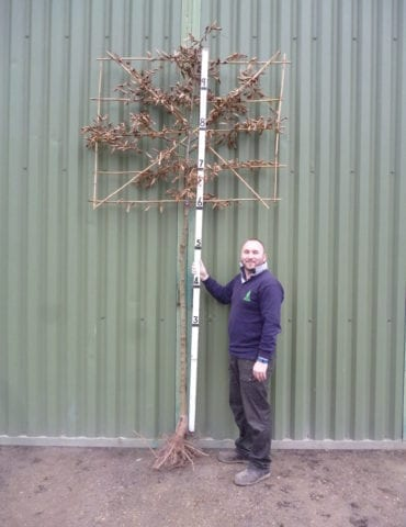 Bare Root Pleached Hornbeam