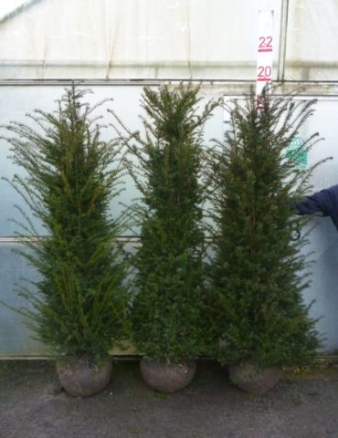 6ft root balled yew