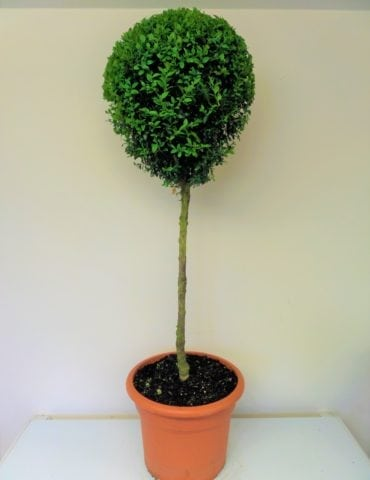 topiary box lollipop