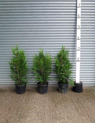 thuja hedging plants